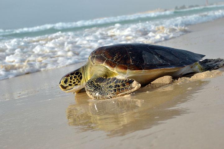tartaruga boavista