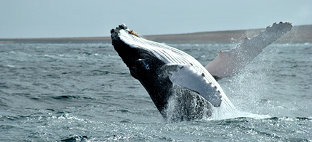 whale watching boavista