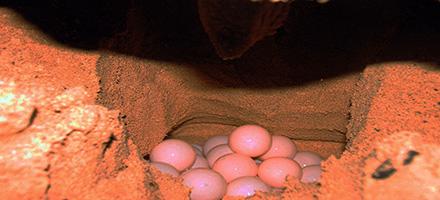 03 turtle eggs