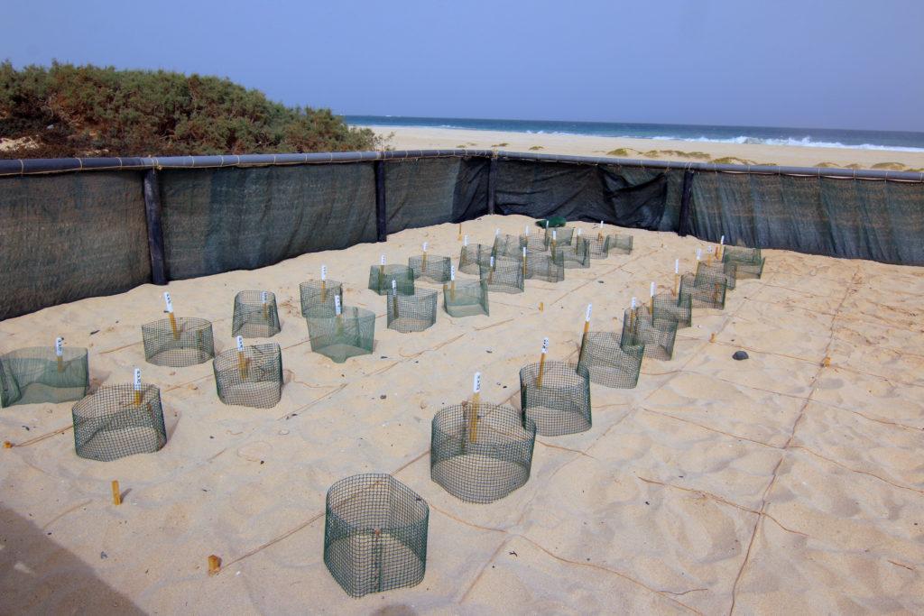 nids de tortues boavista