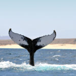 whale watching boavista cape verde