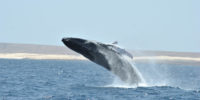 whale watching boavista cape verde