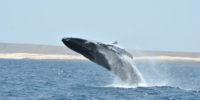 balene boavista capo verde