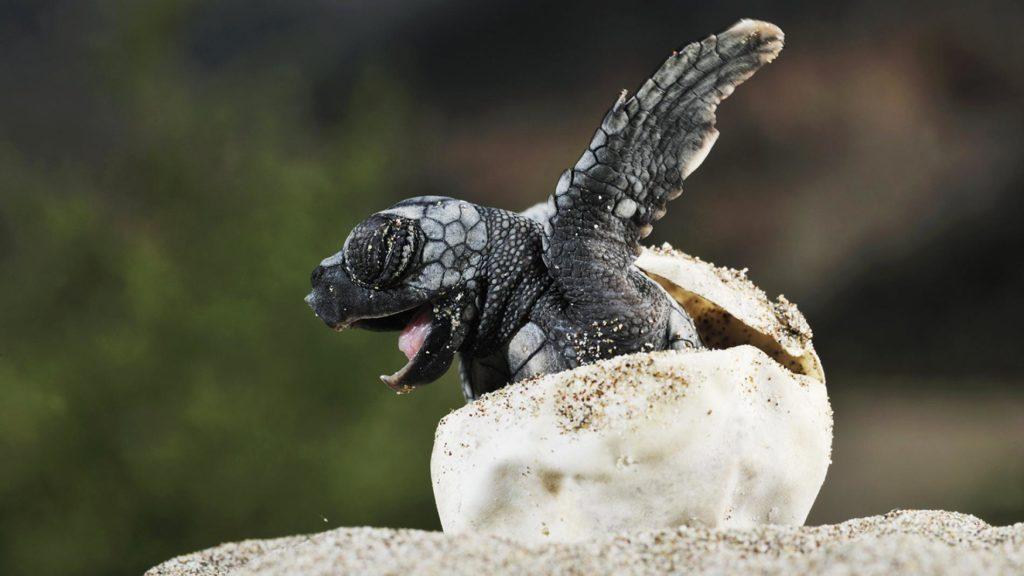 ninho tartaruga