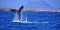 whale-tail-boavista