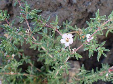 383px-Frankenia_ericifolia_kz1