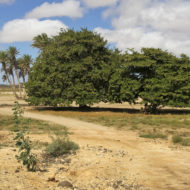 Example_of_flora_in_Boa_Vista,_Cape_Verde,_December_2010_-_3_-_jpg
