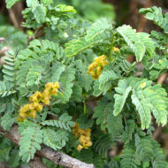 applering-acacia-faidherbia-albida