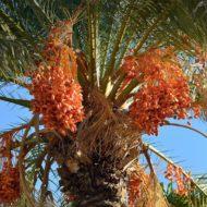 plants_hero_date_palm